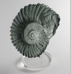 Grey Ammonite